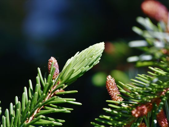 Leylandii coniferen in de tuin